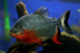 paku fish3.jpg
