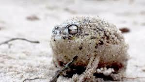 rain frog2.jpg