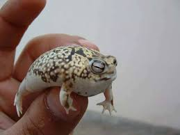 rain frog3.jpg