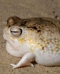 rain frog1.jpg