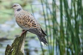 turtle dove2.jpg