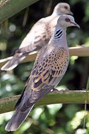 turtle dove3.jpg