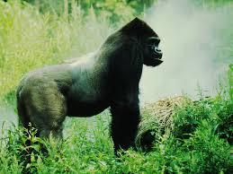 eastern lowland gorilla1.jpg