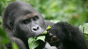 eastern lowland gorilla2.jpg