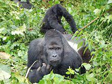 eastern lowland gorilla3.jpg