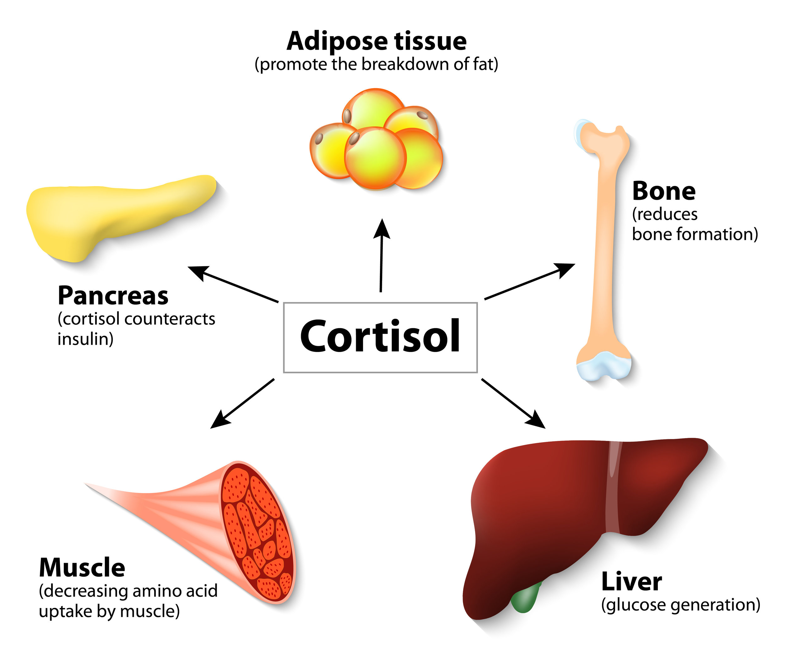 The impact of increased cortisol on the body.