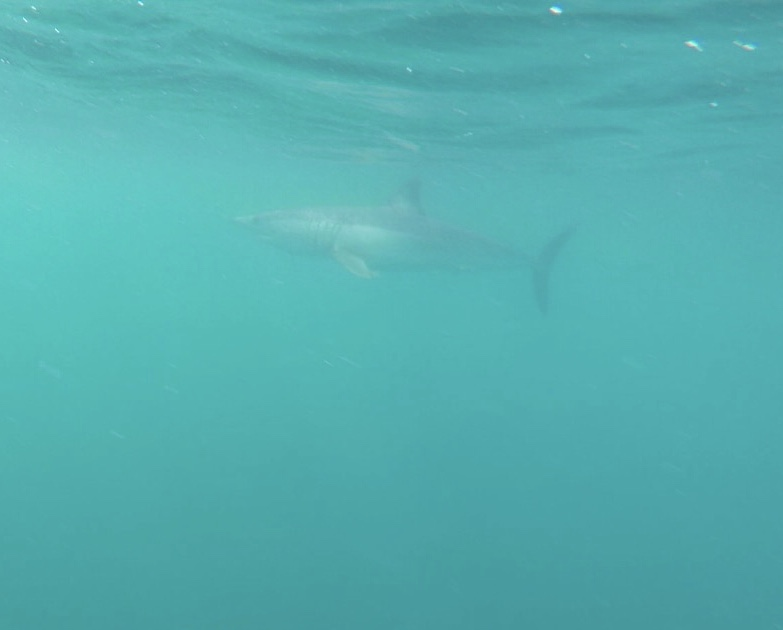 Bill got this photo of a Mako shark while doing a free swim shark dive.