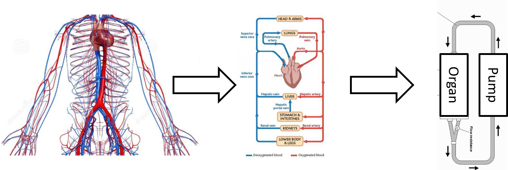 August 24 2018 - Paired with experts in modelling and simulation (Dr Willem van Muers) and the Dean of ANU's Medical School (Prof Russell Gruen), we are looking to use self-assessment and experience-based learning to improve our ability to teach the cardiovascular system for biomedical engineers.