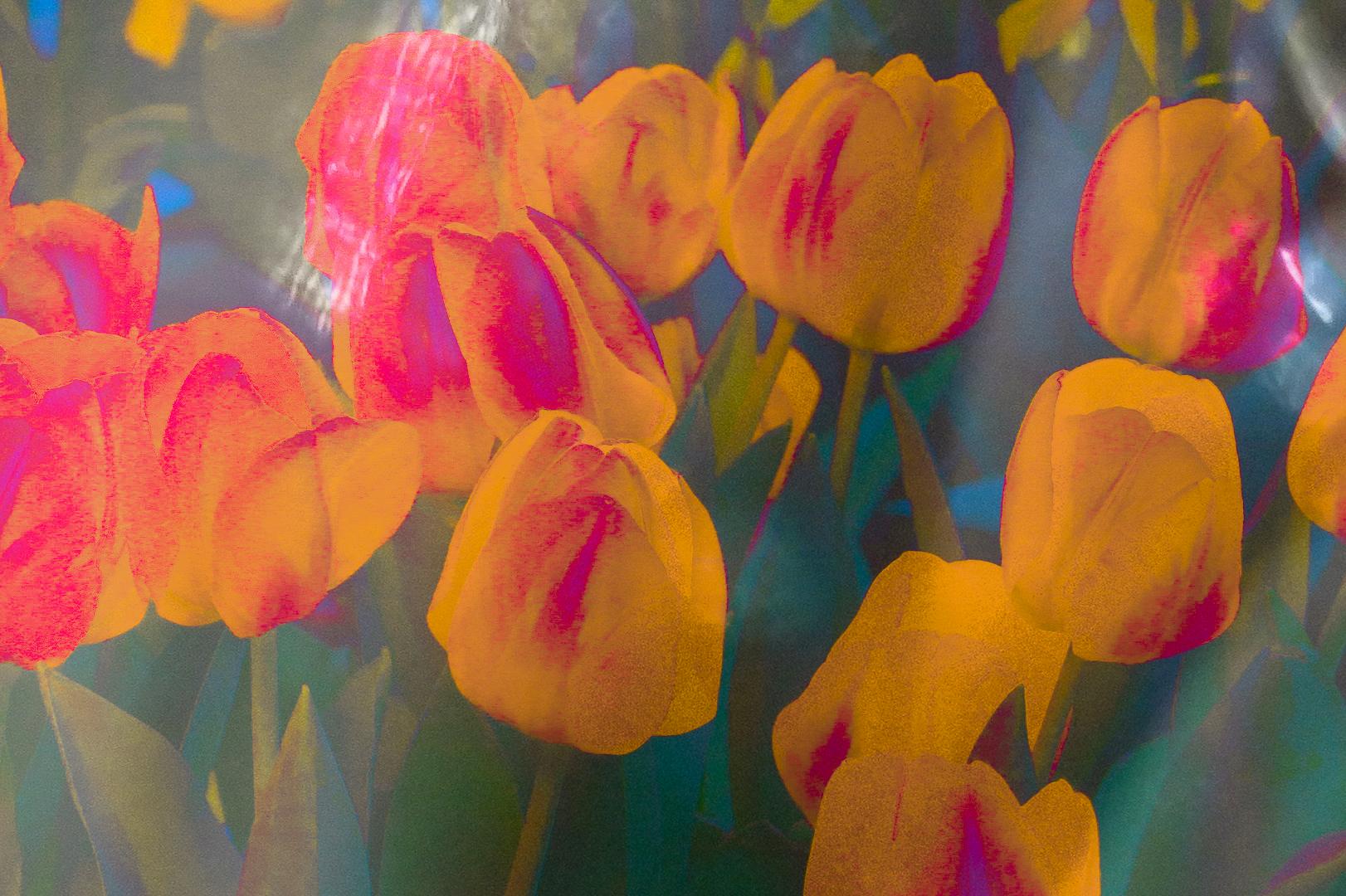 Tulips yellow-1-2.jpg