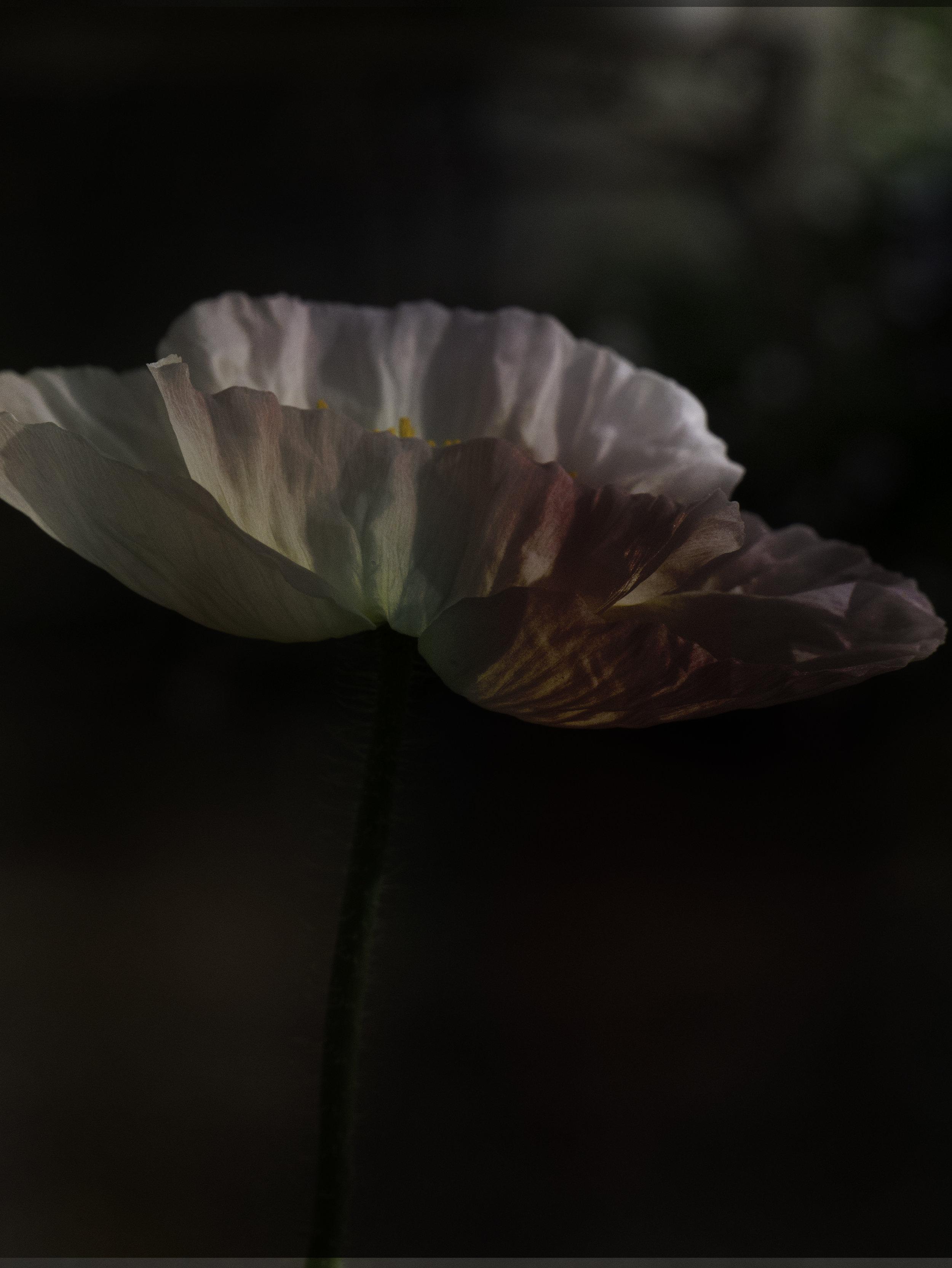 poppyblend.jpg