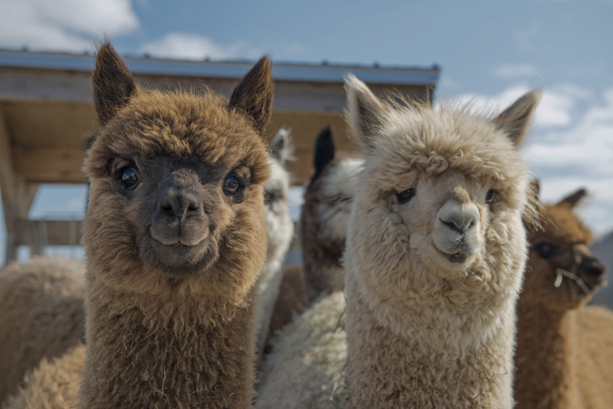 bio baby alpaca wool