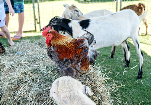 activity-animal-farm-petting-zoo.jpg