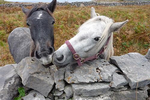 Horses on Inishmore.jpg