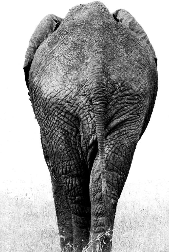 Éléphant de dos