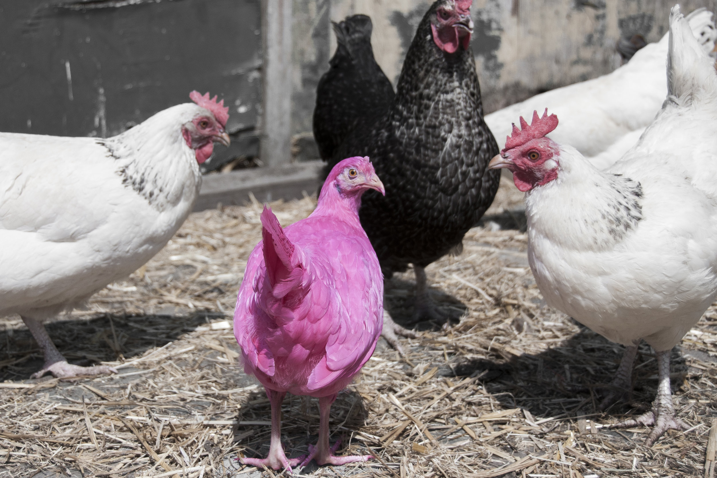 Pink Chicken in Farm