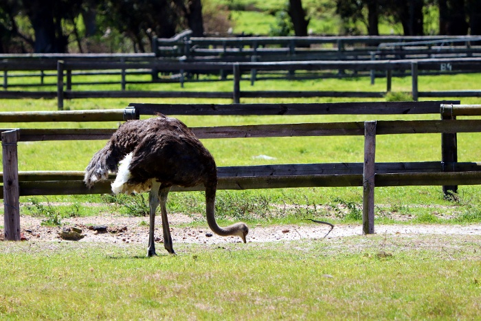 Cape Point Ostrich Farm (2).JPG
