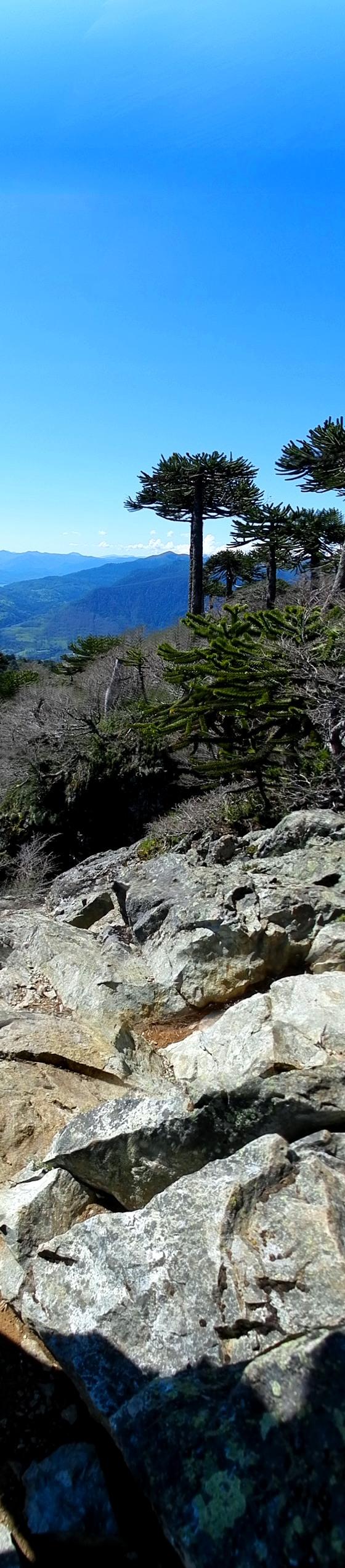 2012 - Araucaria trees, Mirador el Cani, Pucon, Chile