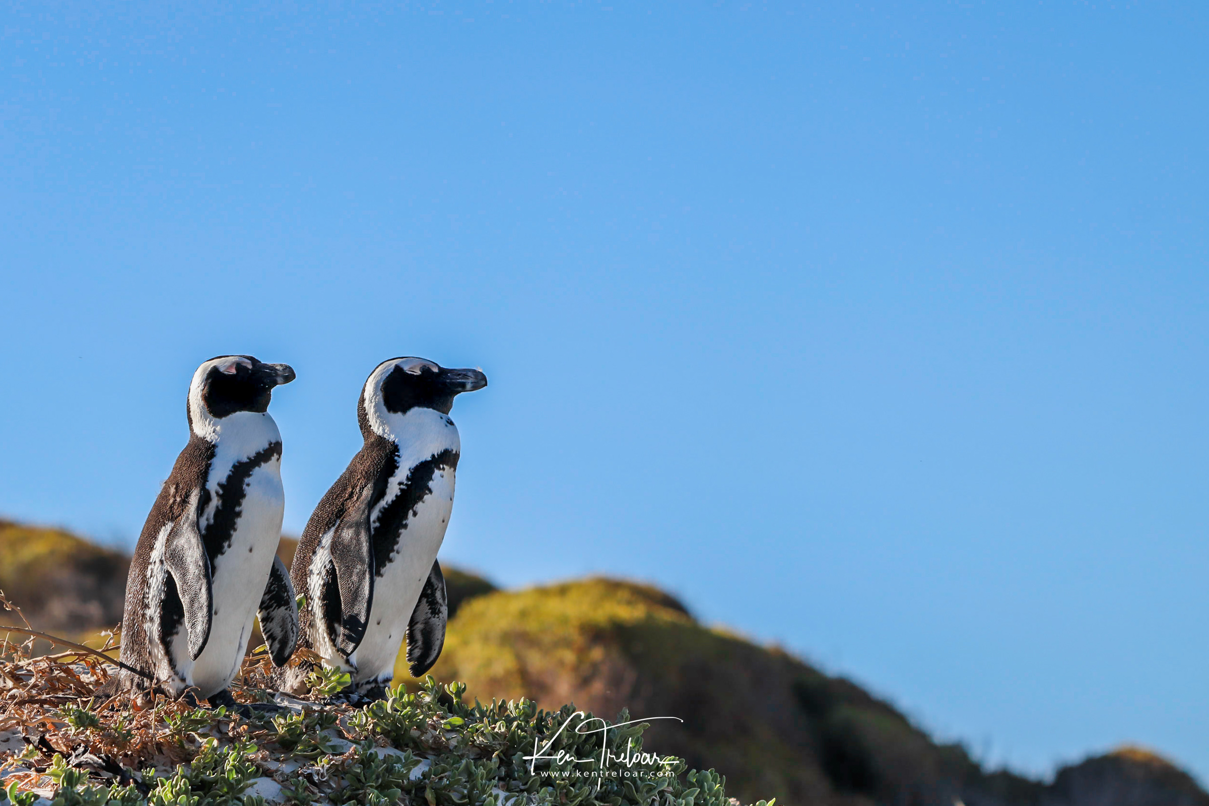 Penguins - Cape Town - Boulders Beach Penguinos Ciudad del Cabo