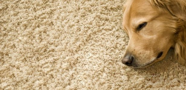 dog-carpet1.jpg