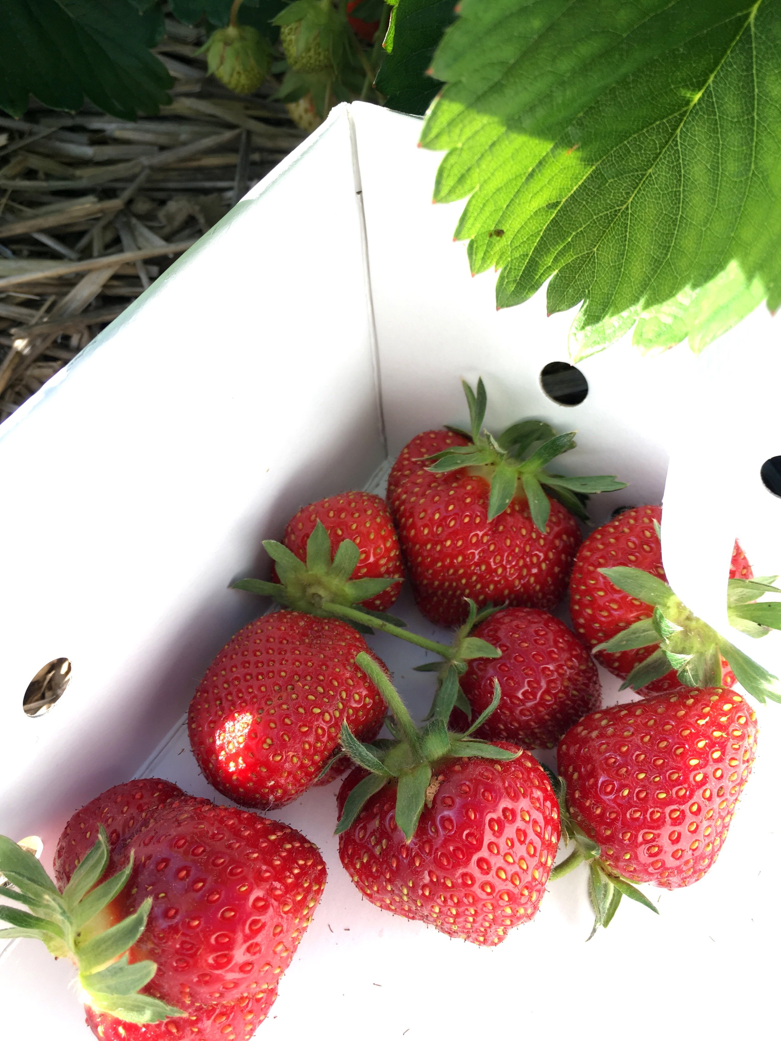 Favorite Strawberry Desserts Visit To Huhn Strawberry Farm Moncharis