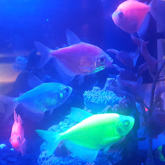 "Inside the GloFish tank at the GWG 2017 Conference.  ""As beautiful, fluorescent aquarium fish, they offer companionship, connection with nature, and a wonderful way to teach children about the responsibilities of pet ownership. "" —  Aidas Nasevicius,  Director of GloFish, Spectrum Brands, Pet, Home and Garden Division"