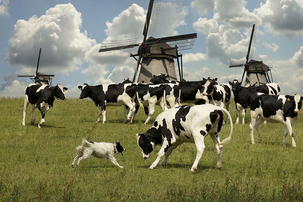 DutchBulls.jpg