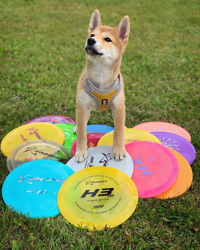 Who's the master now? 🐕🥏 ••• 📸 by @kennrull @_kobetheshiba_  #prodigydisc #poweredbyprodigy #discgolf #discgolflife #discgolfshoutouts