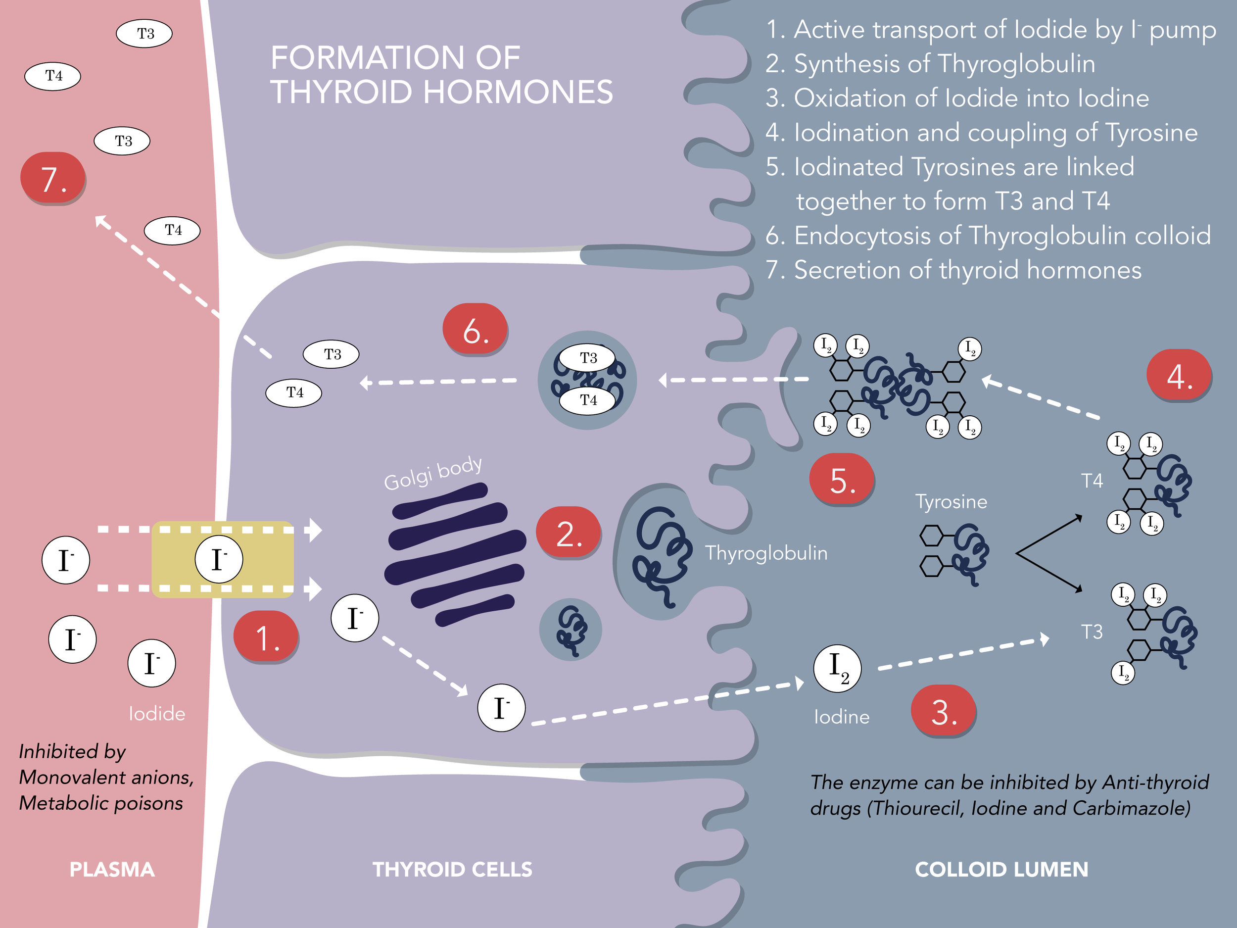 Formation of thyroid hormones