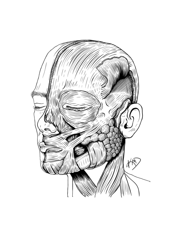 Facial muscles study