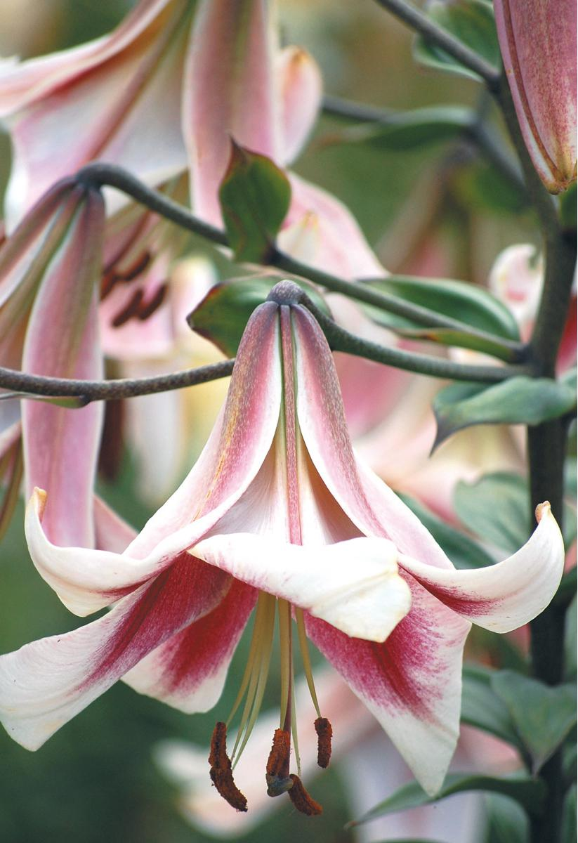 Orienpet lily 'Bell Tower' CLICK image to SHOP.