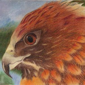 Hawk portrait, colored pencil, by Nick, age 15