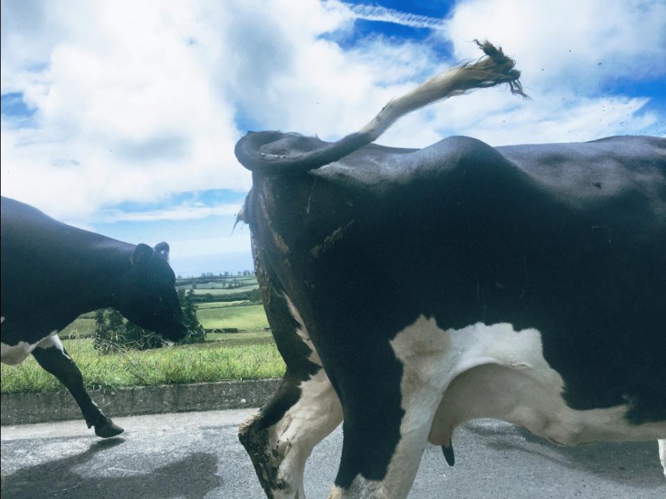 Cows in Sao Miguel, Azores