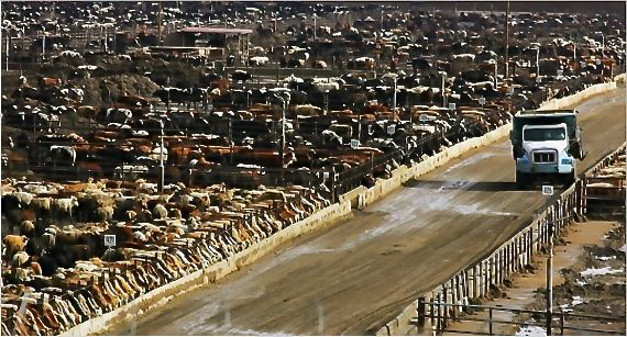 Cattle feedlots have been compared to crowded medieval cities with open sewers and choking air – the difference being that feedlots have antibiotics to keep the occupants alive.