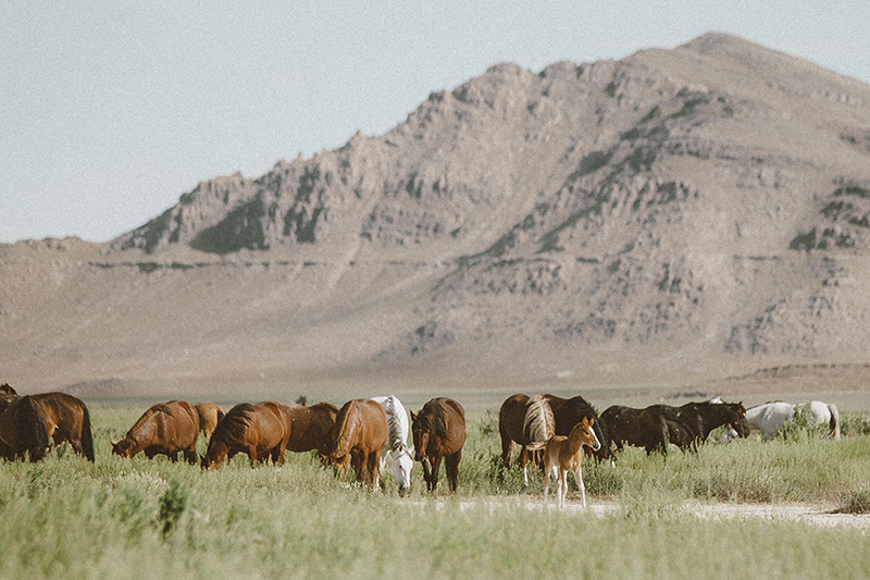 utah's wild horses mustangs-2-low-res.jpg