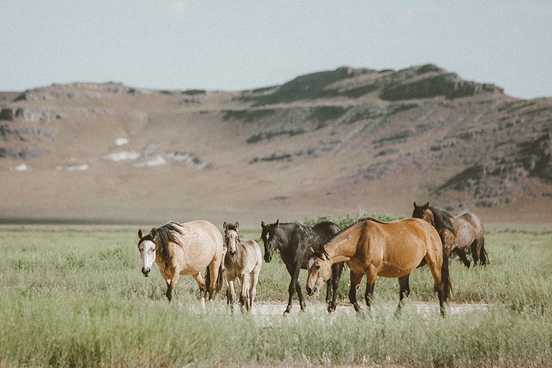 utah's wild horses mustangs-4-low-res.jpg