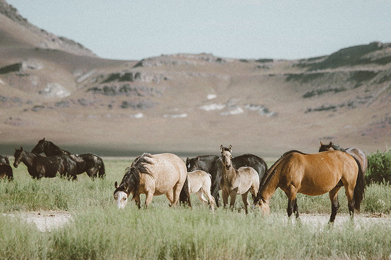 utah's wild horses mustangs-5-low-res.jpg