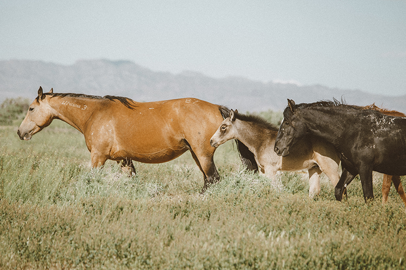 utah's wild horses mustangs-10-low-res.jpg