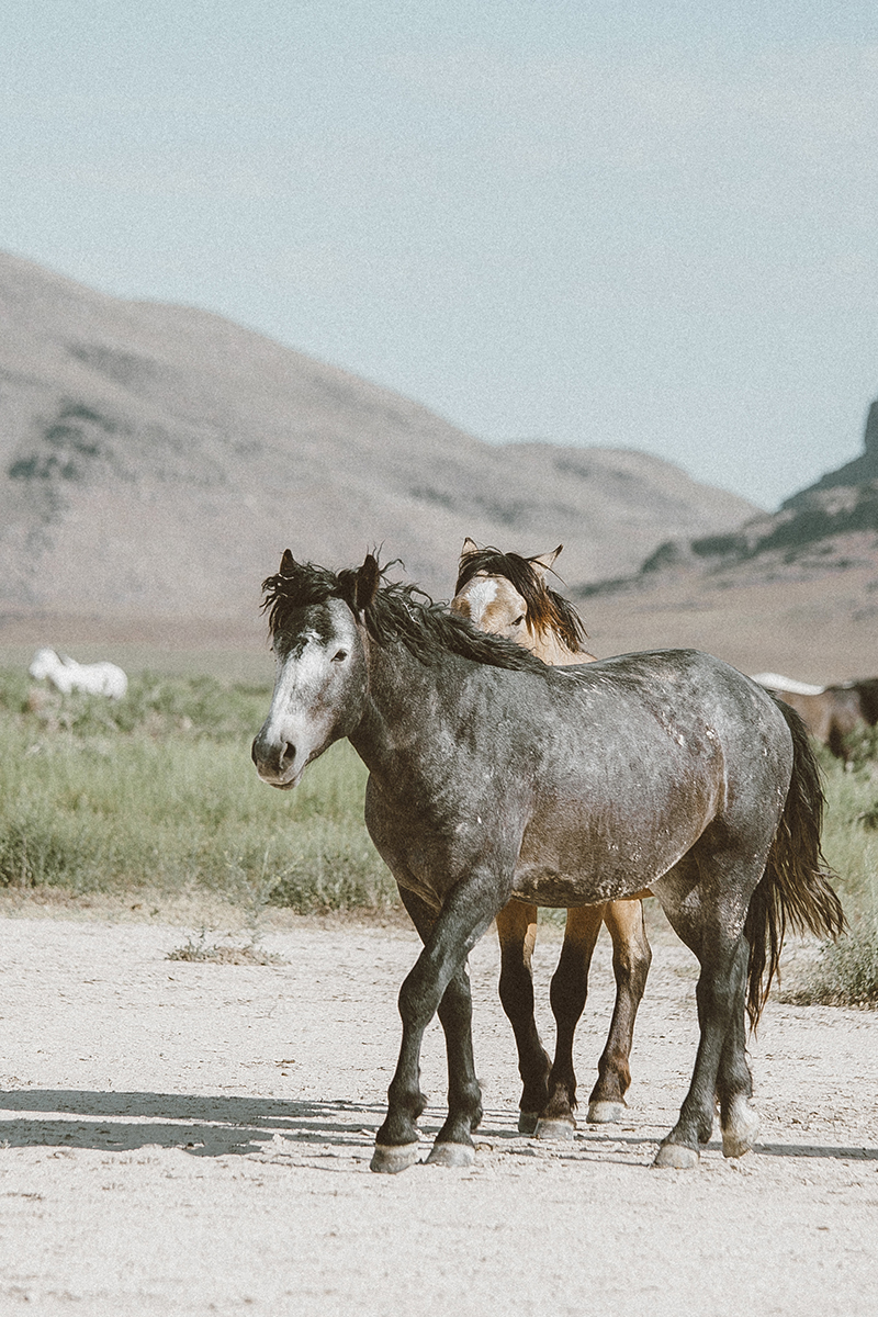 utah's wild horses mustangs-13-low-res.jpg