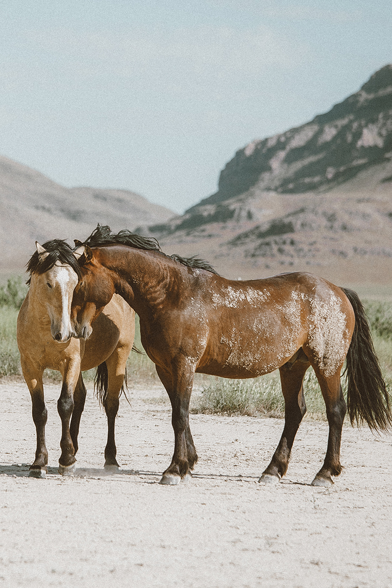 utah's wild horses mustangs-14-low-res.jpg