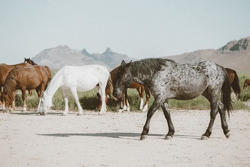 utah's wild horses mustangs-16-low-res.jpg