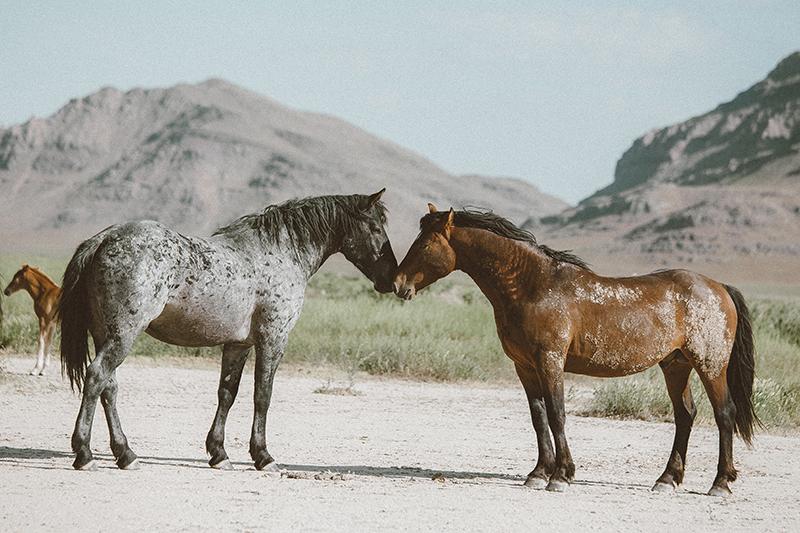 utahs-wild-horses-3-low-res.jpg