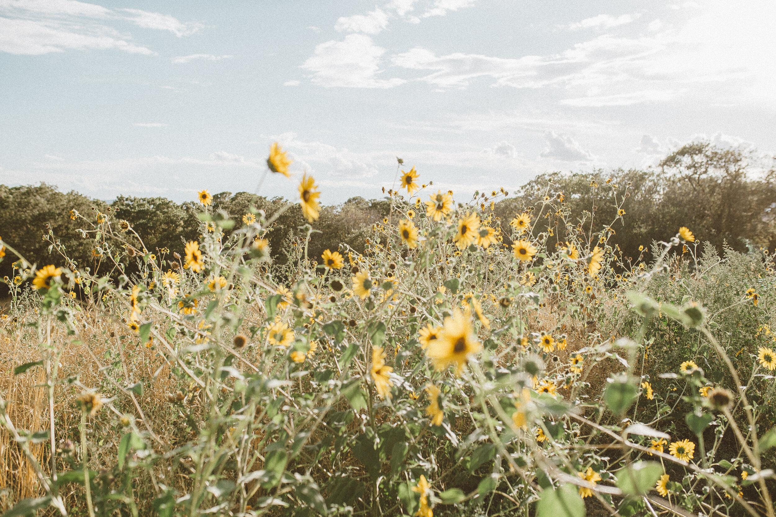 Big Blanket Co Review Sunflower Fields.jpg
