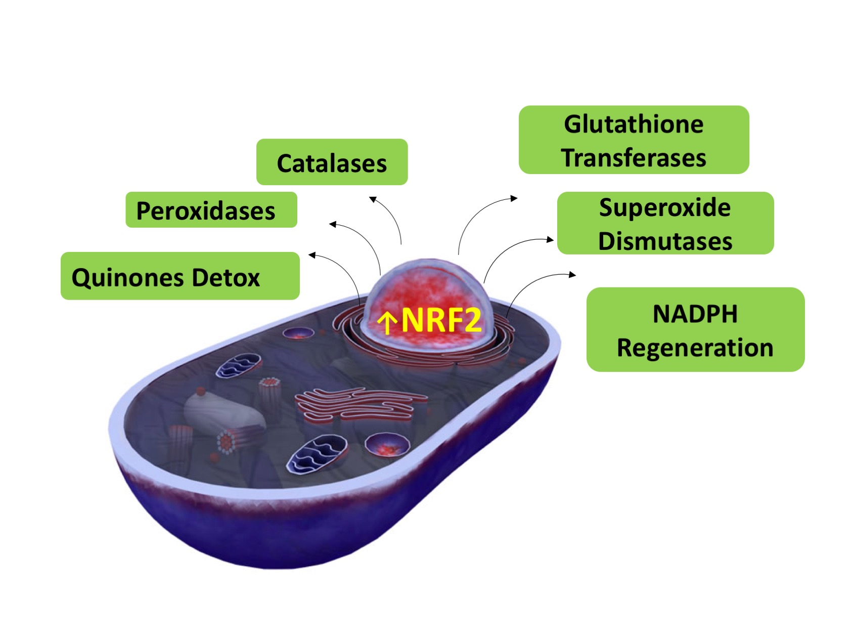 Nrf2 works within the nucleus to stimulate the production of multiple types of anti-oxidant proteins