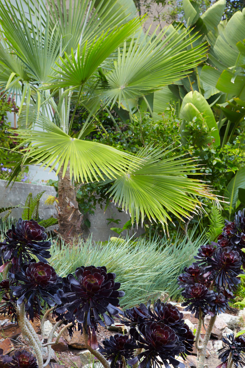 Mediterranean-Fan-Palm-2.jpg
