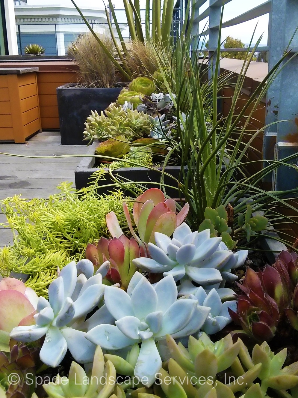 Colorful succulents with distinct shapes hide the hard edges of bespoke containers that add more color and texture to our gardening services installation in San Francisco. Landscaping creations such as this are present throughout the Bay Area.