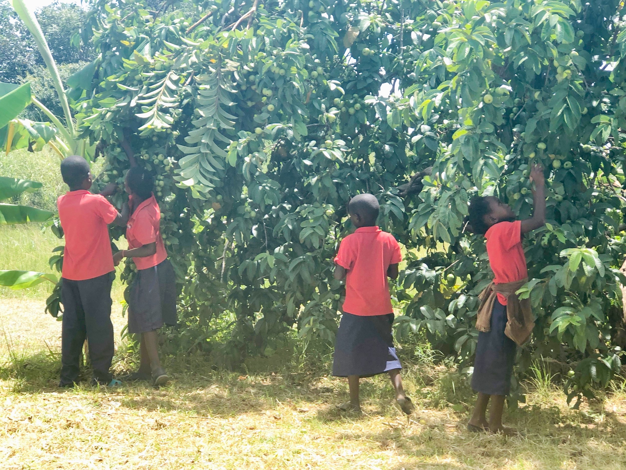 school kids picking guavas for lunch before heading off to school