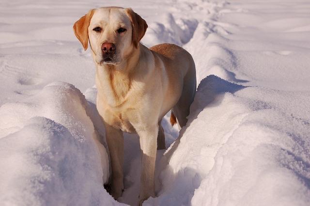 yellow-labrador-retriever-742085_640.jpg