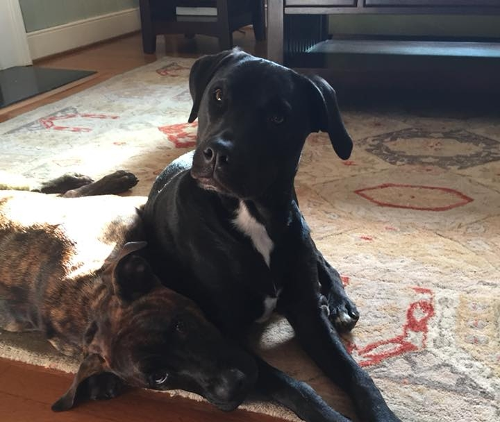 """Kit (fka Keira) - """"Kit (previously Kiera) has been with us for a year now! She's so much fun! Loves her bro, river romps, fetching, bay trips, you name it.. she's determined to live her best life! Couldn't imagine our fam without her. Thank you Lu's Labs!"""""""