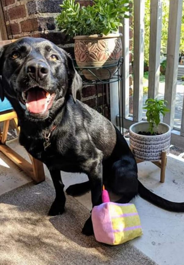 """Taco - """"Thankful to Lu's Labs for allowing us to bring this little monster home. It's been a year full of cuddles, fetch, and trouble! (Taco from the Cajun Litter)"""""""
