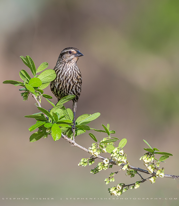 Female Red-winged Blackbird Refugio County, TX